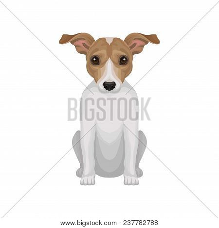 Cute Puppy Of Jack Russell Terrier. Small Breed Of Hunting Dog With Short Coat And Big Shiny Eyes. G