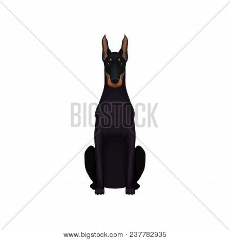 Portrait Of Dobermann. Medium-large Breed Of Dog. Cartoon Character Of Pet With Sleek Black Coat, At