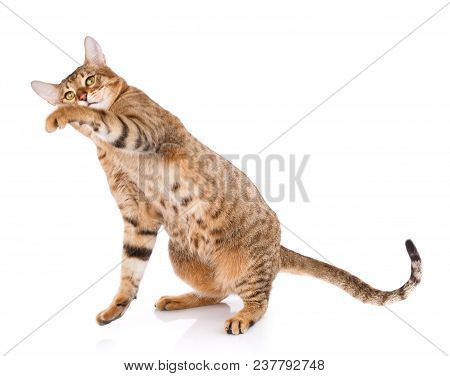 Serengeti Thoroughbred Cat On A White Background. Purebred Cat. Well-groomed Kitten. Pet, Comfort An