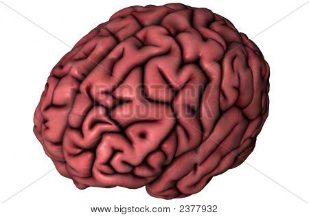 Human Brain Oblique View On White Background