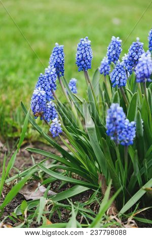 Flowering Blue Flowers Of A Mouse Hyacinth In The Spring.