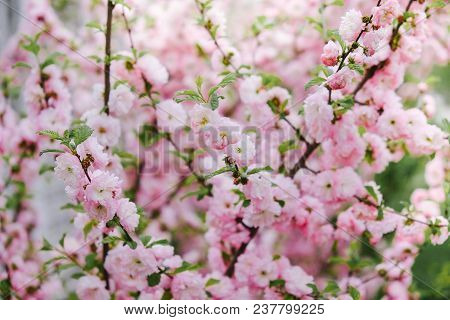 Pink Double Blooming Almond Blossomed In The Garden In The Spring.