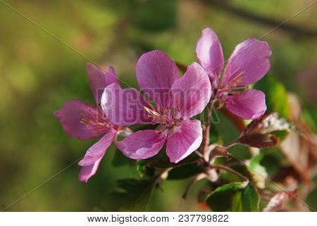Blooming Apple Tree Pink Flowers Over Blue Sky In Spring Time Isoalted