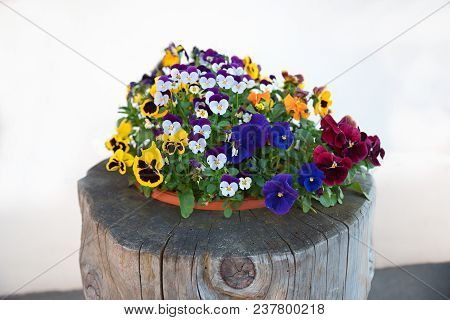 Plate With Mixed Pansy Flowers On A Tree Trunk, Decoration In Front Of The House. White Background