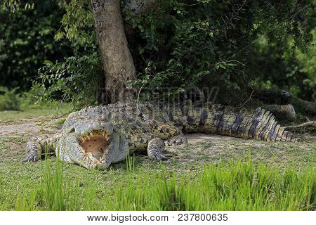 Nile Crocodile (crocodylus Niloticus) With Open Mouth, Lying On The River Bank. Murchison Falls, Uga