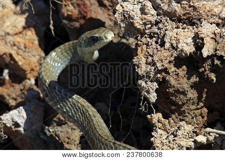 Yellowtailed Cribo (drymarchon Corais Corais). Pantanal, Brazil