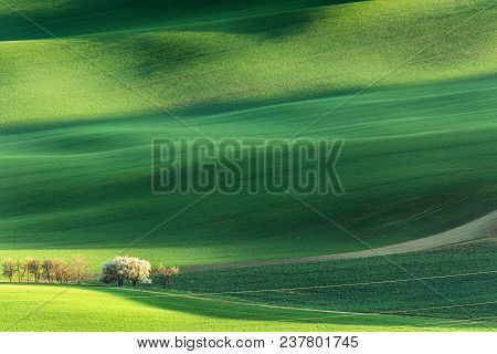 Spring Rural Nature Landscape With Blossoming Flowering Trees On Green Wavy Rolling Hills. Amazing S