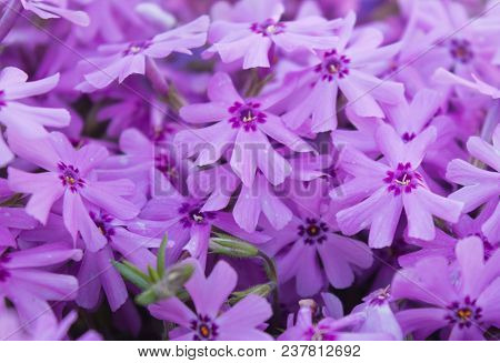 A Close Up View Of A Cluster Of Purple Phlox Flowers.