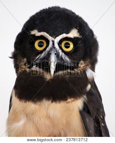 A Portrait Of A South American Spectacled Owl, Isolated Background.