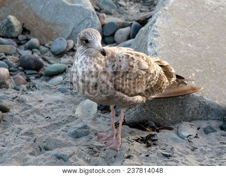 A Young Seagull Perched In Front Of Boulders On The Beach In The Sand.