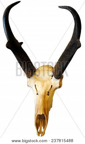 An Animal Skull With Black Antlers Isolated On A White Background.