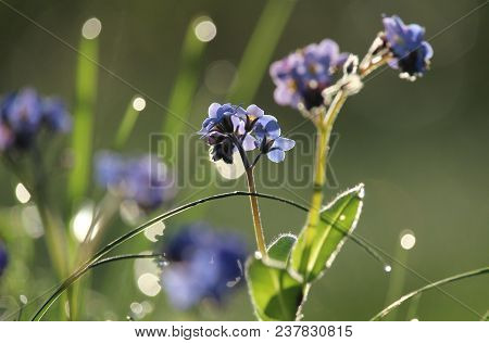 Beautiful Backlit Myosotis (forget Me Not) Flowers, On An Early Spring Morning At Dawn. Selective Fo