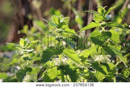 The Beautiful Backlit Spring Flowers Of Lamium Album, Also Called White Nettle Or White Dead-nettle.