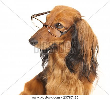 longhaired dachshund glasses on the face