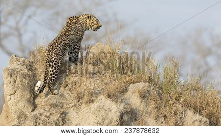 Lone Leopard Sit Down Resting On An Anthill In Nature During Daytime