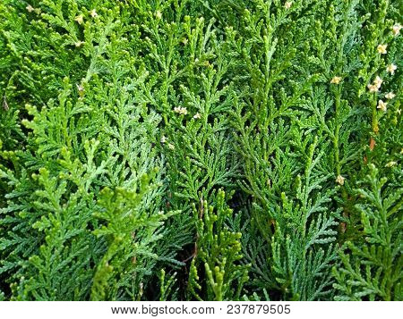Cypress Cedar Tree Branch. Thuja Occidentalis Bush Is Evergreen Coniferous Tree In Cypress Family Cu