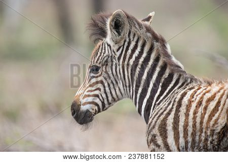Young Fluffy Baby Zebra Foal Portrait Standing Alone In Nature