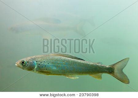Arctic Grayling (Thymallus arcticus) underwater
