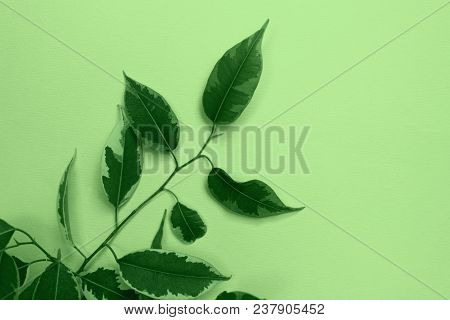 Nature Background.nature Photo Of  Ficus.green Leaves On Green  Background,close-up.close Up Natural