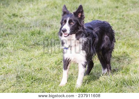 portrait of a beauceron dog outdoors on a field of obedience in belgium poster