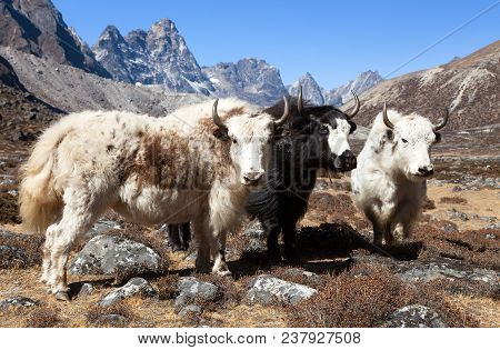 Yak, Group Of Thee Yaks On The Way To Everest Base Camp - Nepal Himalayas Mountains
