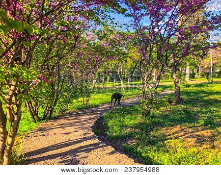 A Dog Walking Along A Path In The Park In Sunny Day. Spring Weather, Sunny Sky, Flowering Trees In T