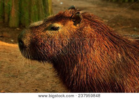 Capybara Is A Wild Mammal Rodent Of Brazilian Fauna