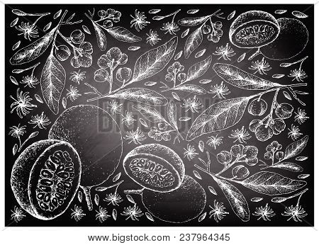 Tropical Fruits, Illustration Wall-paper Background Of Hand Drawn Sketch Of Acronychia Pedunculata A