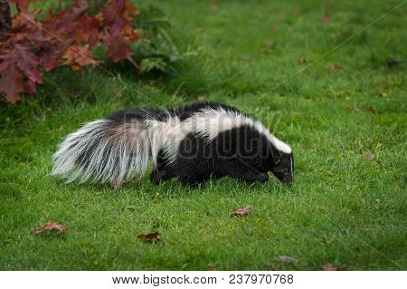 Striped Skunk (mephitis Mephitis) Sniffs Right In Grass - Captive Animal