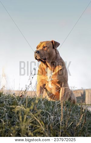 Bulldog,  Large Pure-bred Trained Dog, Sits On  Grass