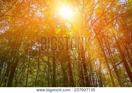 A Tall Green Forest With A Bright Golden Sun Shining Through With Orange Light Glare.