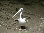 Pink backed pelican standing on brown dirt. poster