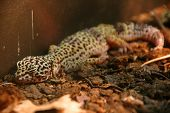 leopard gecko sleeping in their house small agressive but not violent poster