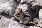 Golden Mantled Ground Squirrel (Spermophilus lateralis) on Sulphur Mountain. Canada poster