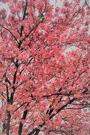 A Cherry Blossom Tree In Full Bloom