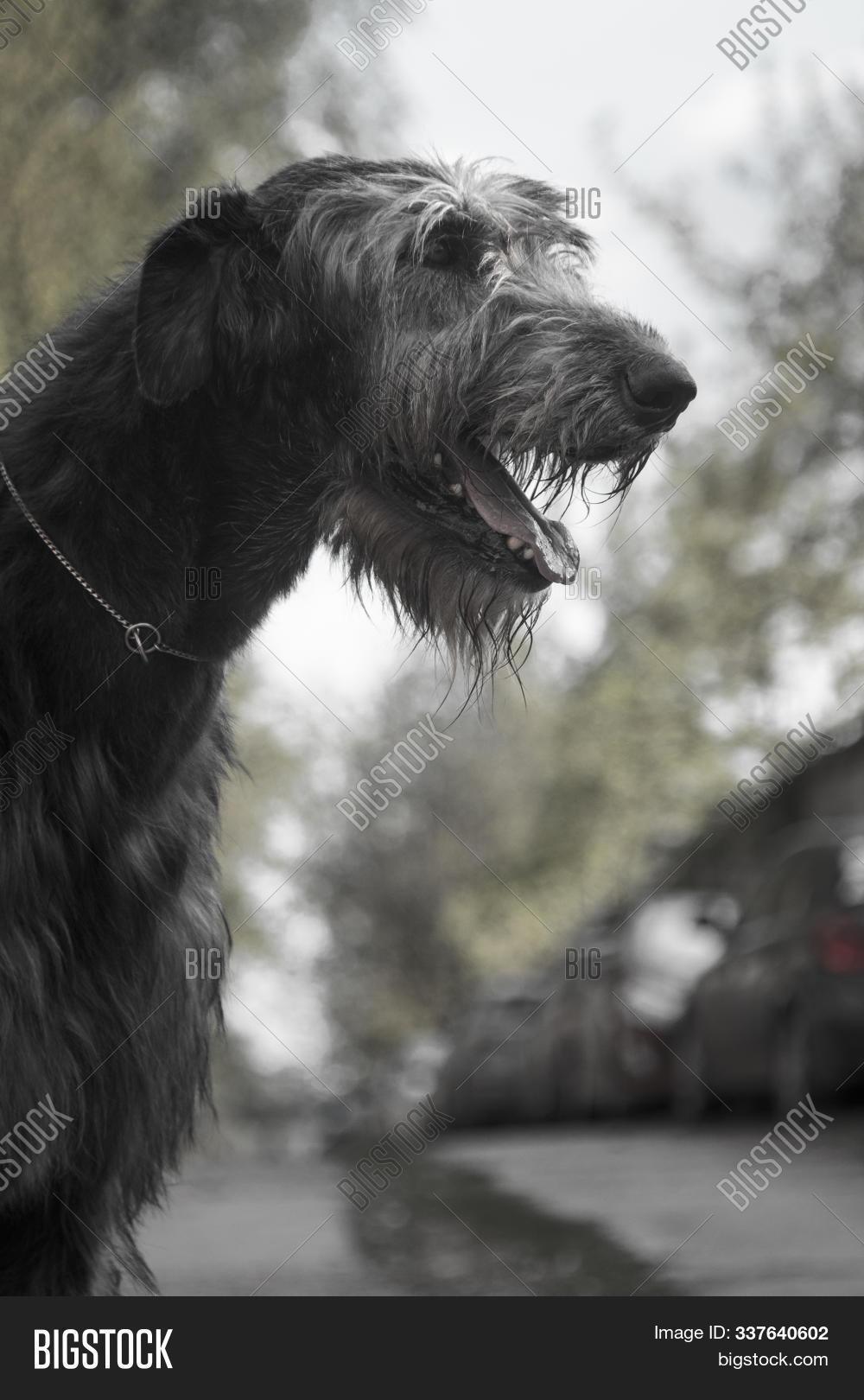 Irish Wolfhound Breed Image Photo