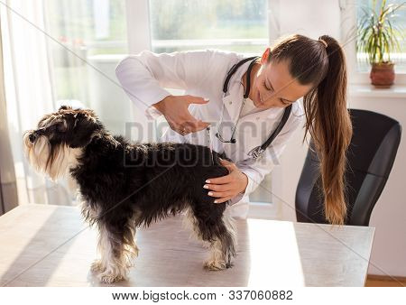 Miniature Schnauzer At Veterinarian. Female Doctor Giving Vaccine To A Dog