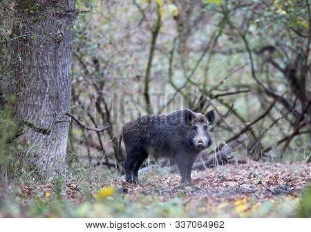 Wild Boar (sus Scrofa Ferus) Walking In Forest. Wildlife In Natural Habitat