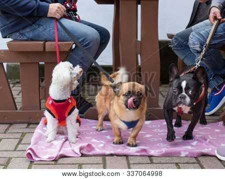 Three Cute Dogs Standing On Blanket On Pavement Beside Wooden Table In Street Restaurant