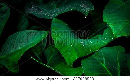 Green Leaf With Rain Drop In Jungle. Water Drop On Leaves. Green Leaf Texture Background With Minima