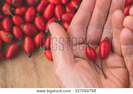 Freshly Picked Rose Hips In Grandmothers Hands. Rose Hip Commonly Known As Rose Hip (rosa Canina).