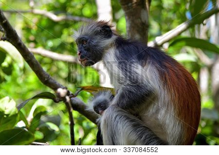 Red Colobus Female Monkey With Her Baby In A Natural Environment, Zanzibar Jozani Forest. Jozani-chw
