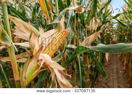 Ripe Corncob On Plantation, Close Up With Selective Focus