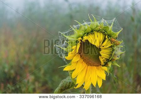 Wild Sunflower With Web And Dew Drops. The Sunflower Was Found Near A Small Pond. Probably This Flow