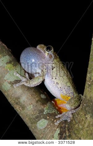 Cope's grey tree frog calling to a