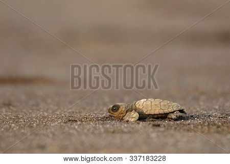 Olive Ridley Turtle, Lepidochelys Olivacea At Velas Beach In Ratnagiri, Maharashtra