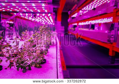 Various Herbs And Vegetables Grow Under Special Led Lights Belts In Aquaponics System Combining Fish