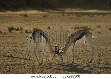 Two Springboks (antidorcas Marsupialis) Males Fighting In Kalahari Desert. Springboks On Kalahari Sa