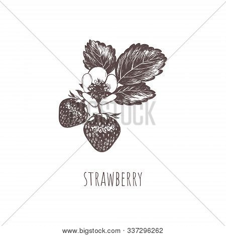 Strawberry Berry Sketch Hand Drawing. Strawberry Flower And Leaves. Strawberry Botanical Vector Illu