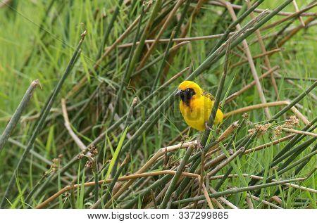 Speke's Weaver (Ploceus spekei) perched on grass